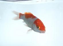 錦鯉の稚魚販売