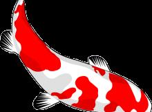 錦鯉の飼育