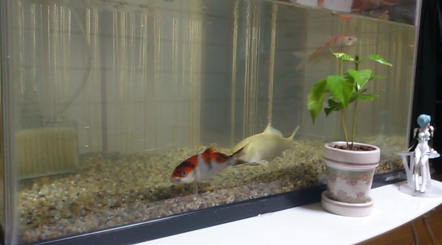 1. ど素人が錦鯉の水槽飼育をしてみた
